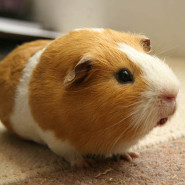 What is a Guinea Pig?