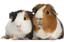 MultiColored Guinea Pigs
